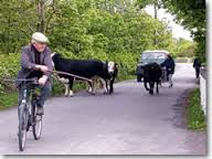 cows 5